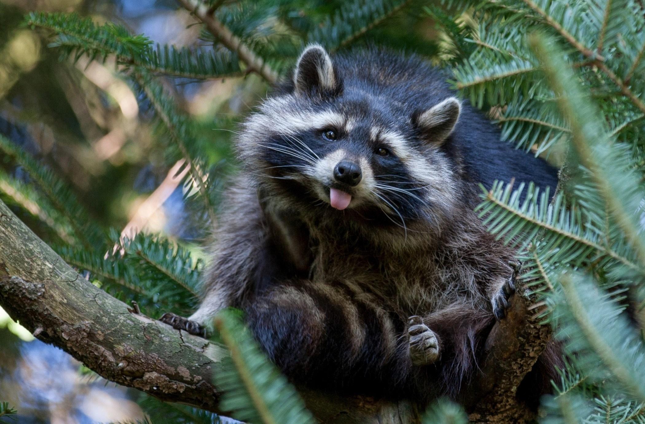 151903 скачать обои Животные, Природа, Дерево, Енот - заставки и картинки бесплатно