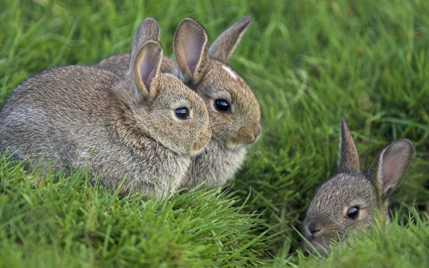 70439 download wallpaper Animals, Grass, Rabbits, Sit, Hide, Fear, Disguise, Camouflage, Three screensavers and pictures for free