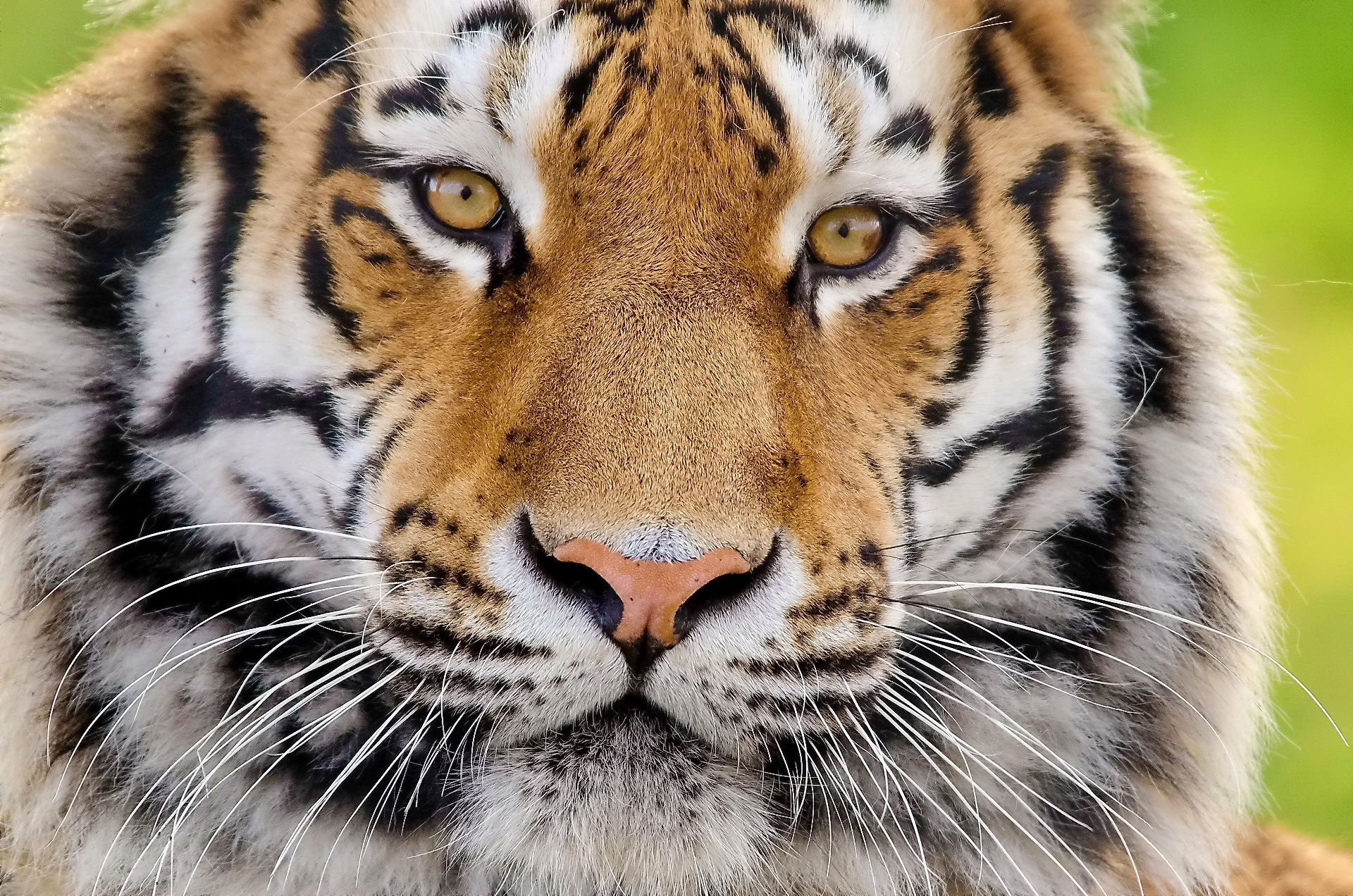 95655 download wallpaper Animals, Tiger, Muzzle, Fluffy, Predator screensavers and pictures for free