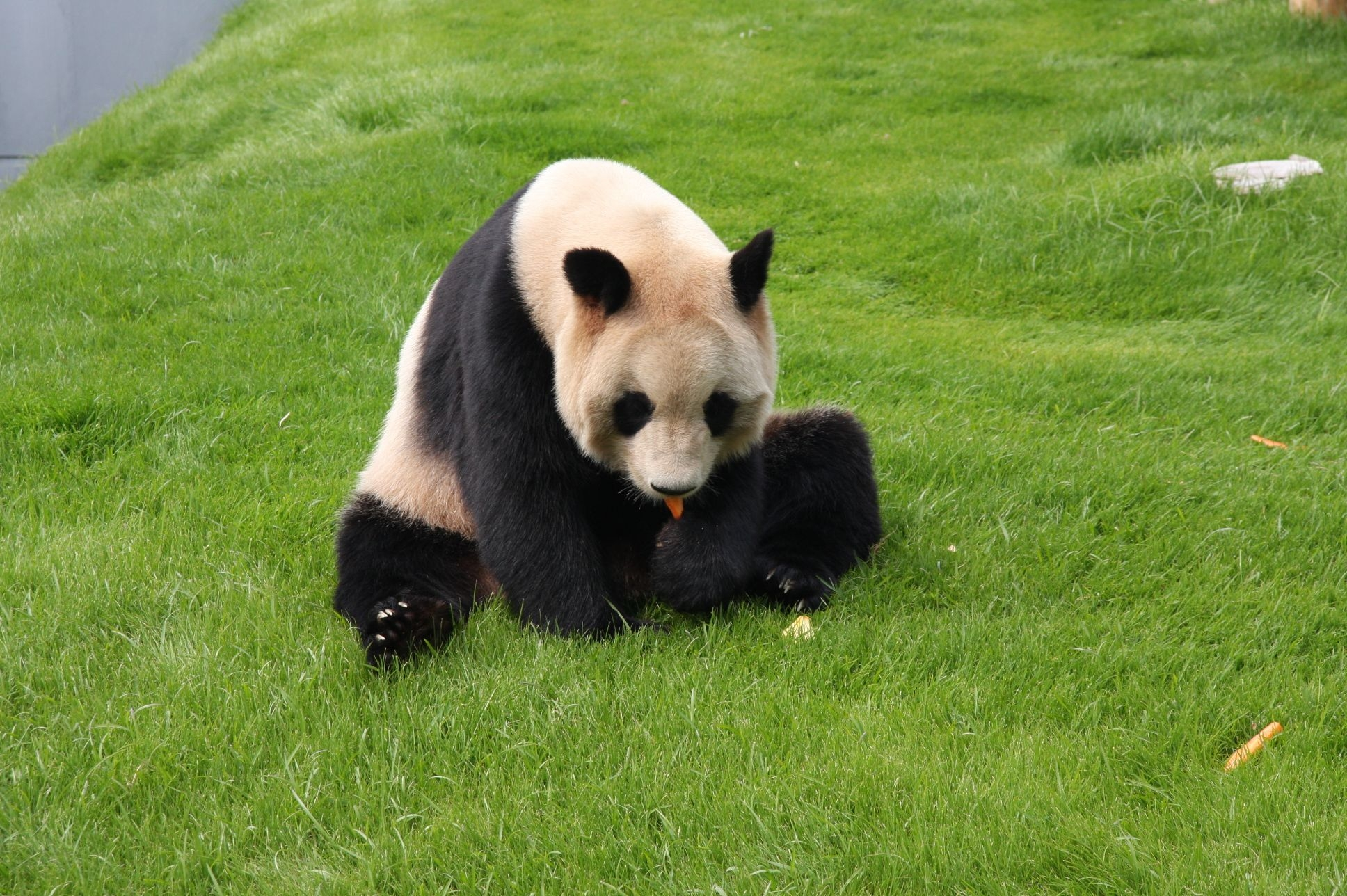 67215 download wallpaper Animals, Panda, Grass, Sit, Kid, Tot screensavers and pictures for free