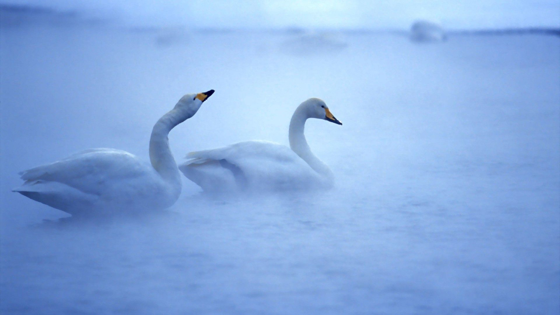153903 download wallpaper Animals, Swans, Lake, Fog, Couple, Pair, Care, Birds screensavers and pictures for free