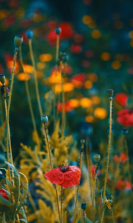 123027 скачать обои Макро, Маки, Цветение, Размытость, Бутоны, Цветы - заставки и картинки бесплатно
