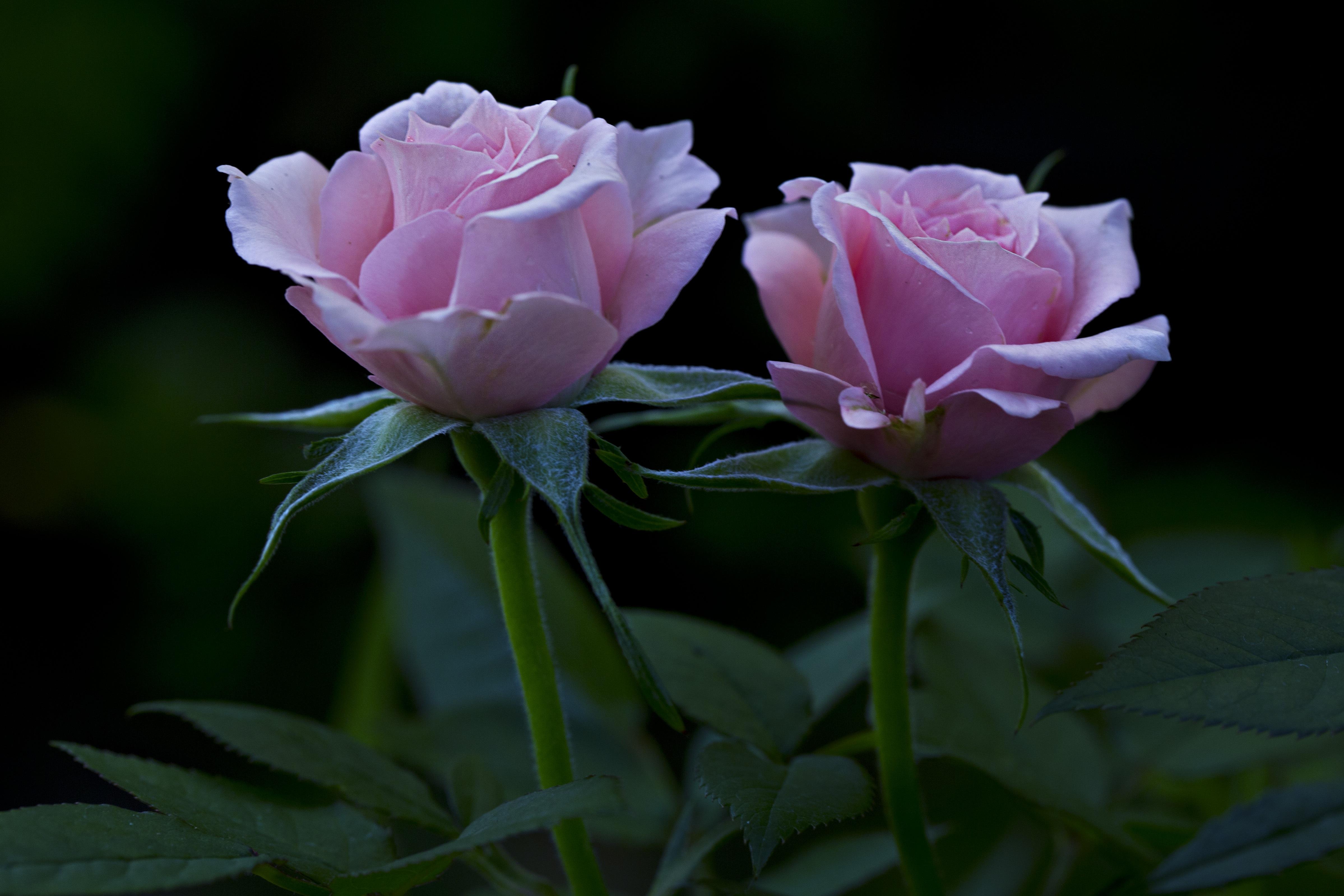 156582 Hintergrundbild herunterladen Roses, Blumen, Blütenblätter, Knospen - Bildschirmschoner und Bilder kostenlos