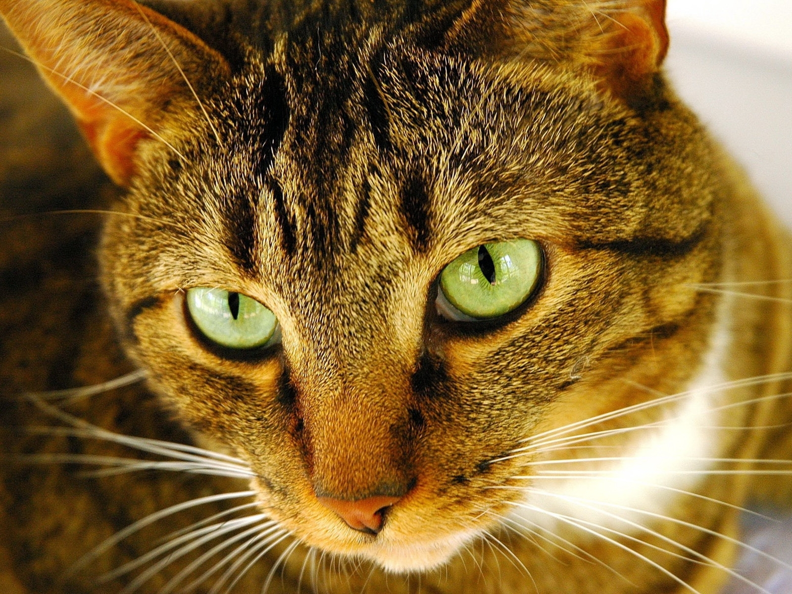 4167 download wallpaper Animals, Cats screensavers and pictures for free