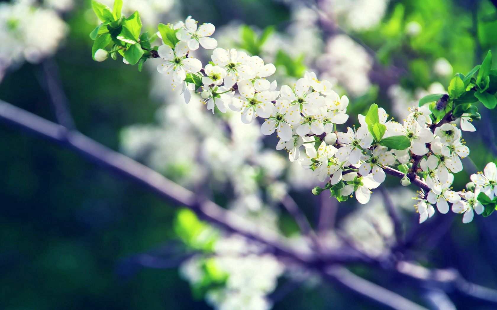 52049 скачать обои Цветение, Цветы, Ветка, Белый, Весна - заставки и картинки бесплатно