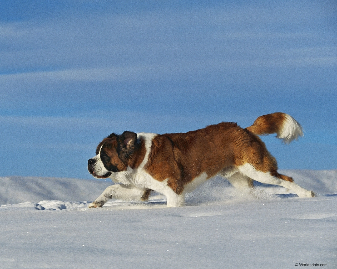 6308 download wallpaper Animals, Dogs, Snow screensavers and pictures for free