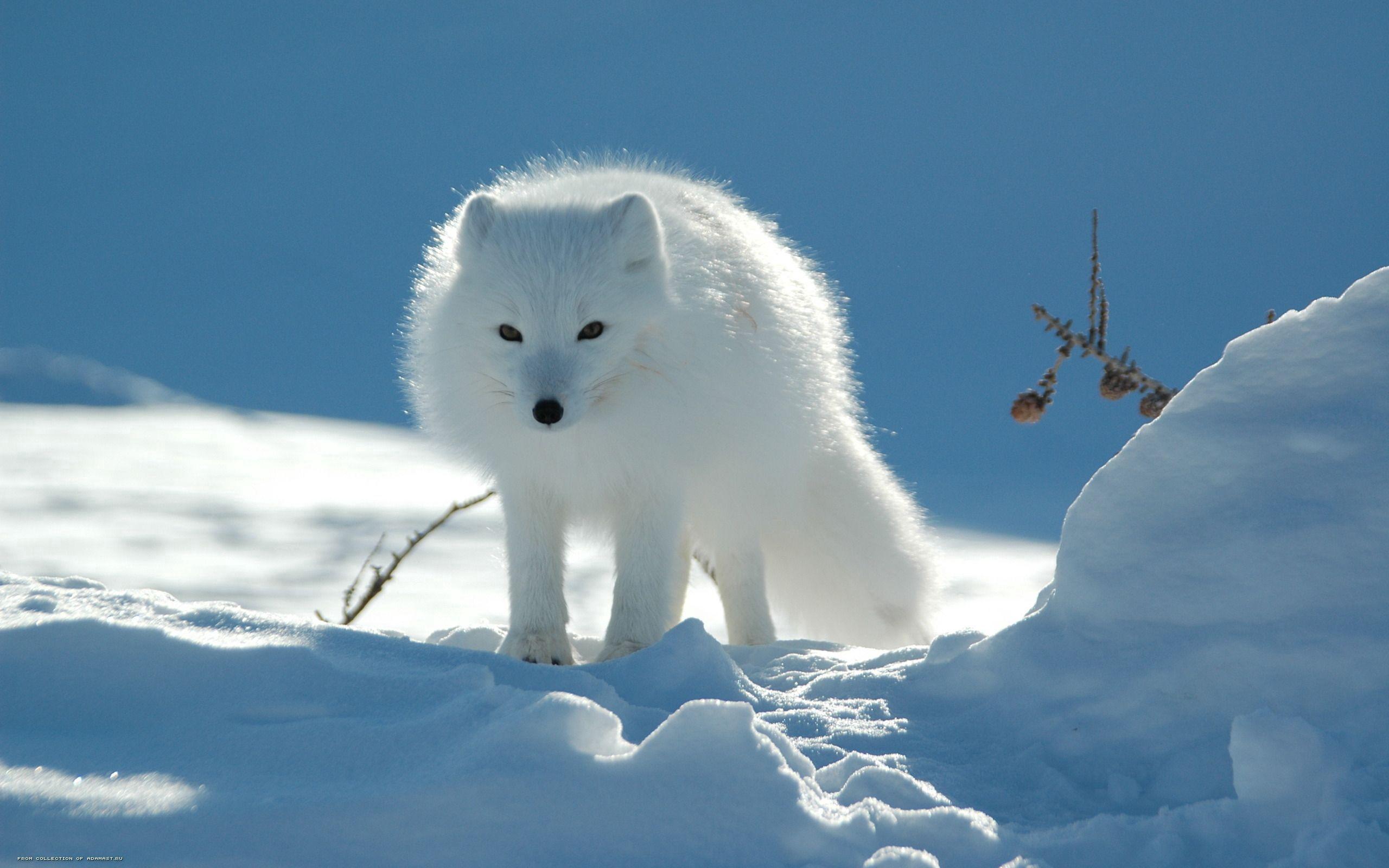 94993 скачать обои Животные, Песец, Снег, Следы, Проход, Светлый - заставки и картинки бесплатно