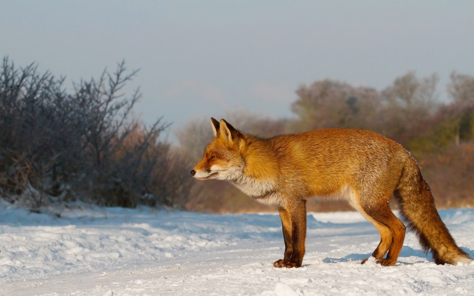 66654 download wallpaper Animals, Fox, Snow, Stroll, Hunting, Hunt screensavers and pictures for free