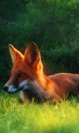 18966 download wallpaper Animals, Fox screensavers and pictures for free