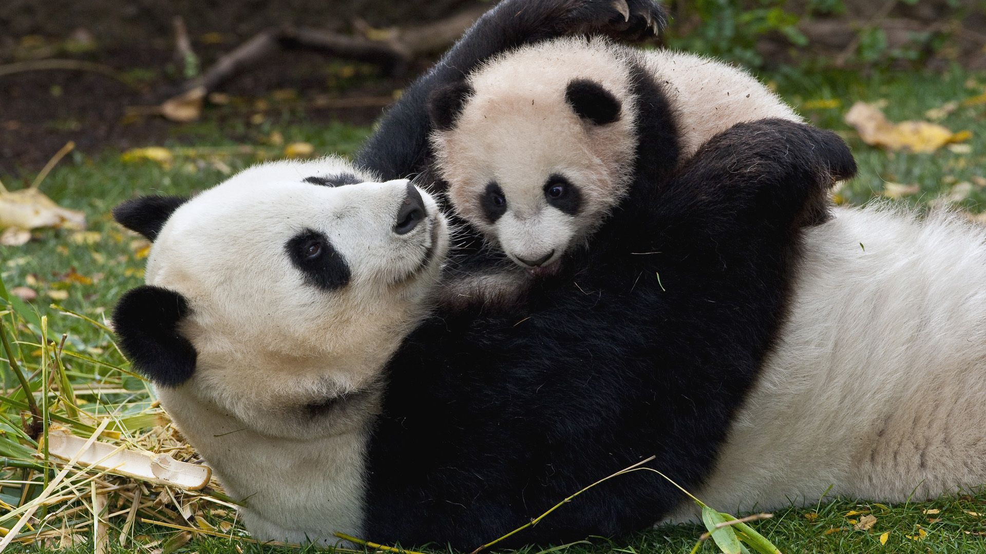 86079 download wallpaper Animals, Panda, Young, Joey, Embrace, Couple, Pair, Grass, Play screensavers and pictures for free