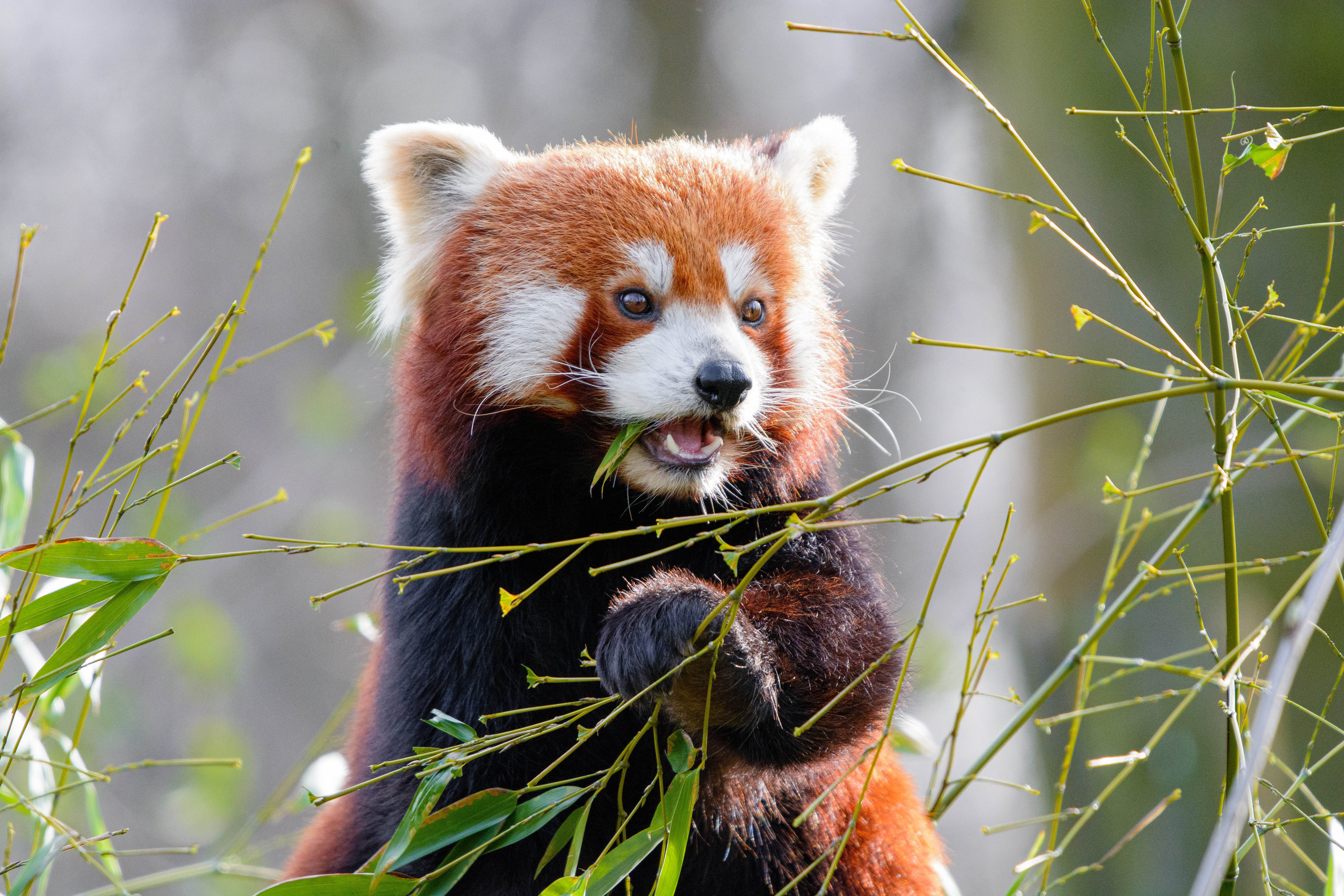 143647 download wallpaper Animals, Red Panda, Bamboo, Nice, Sweetheart, Animal, Leaves screensavers and pictures for free