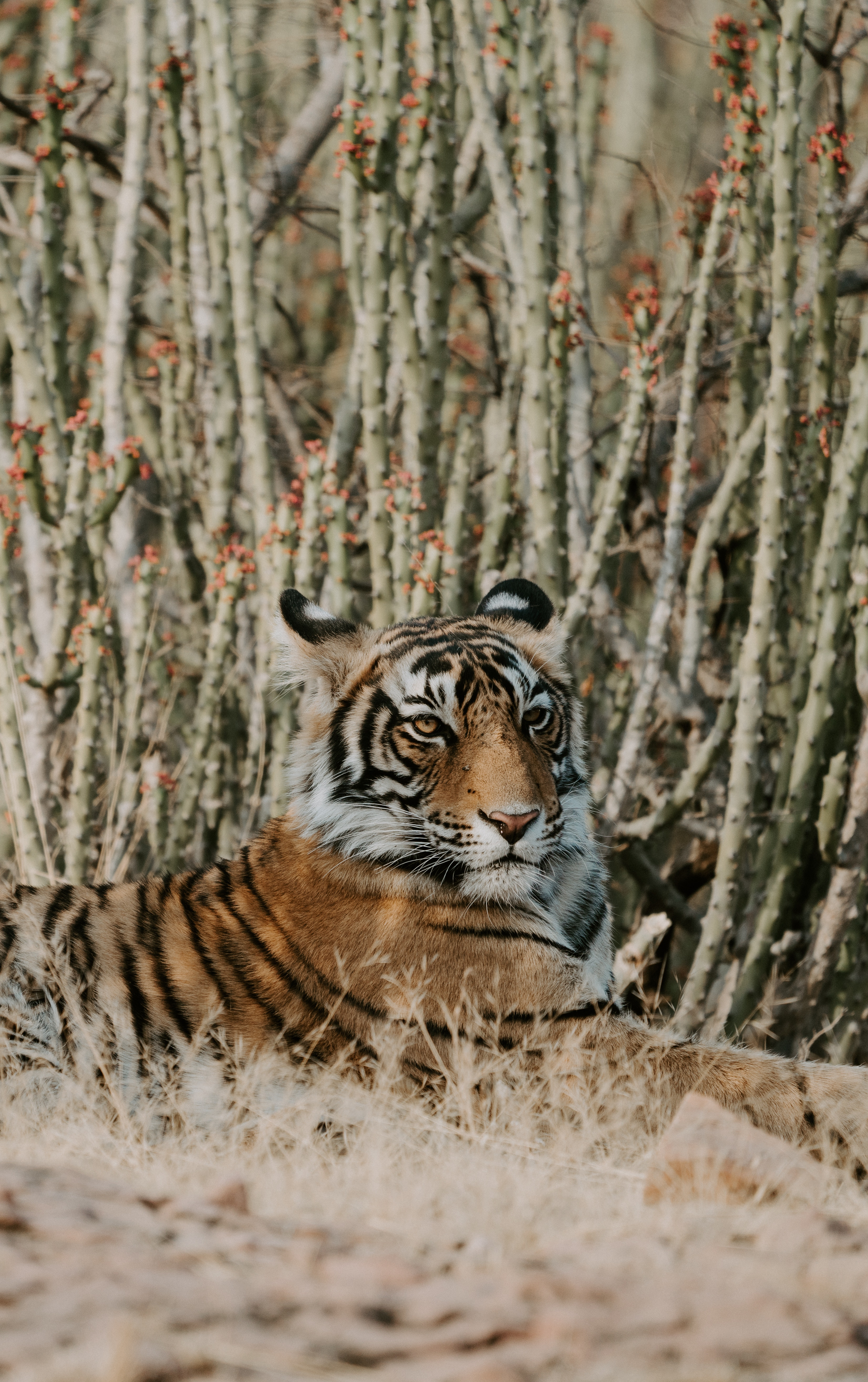 128581 download wallpaper Animals, Tiger, Lies, Predator, Big Cat screensavers and pictures for free