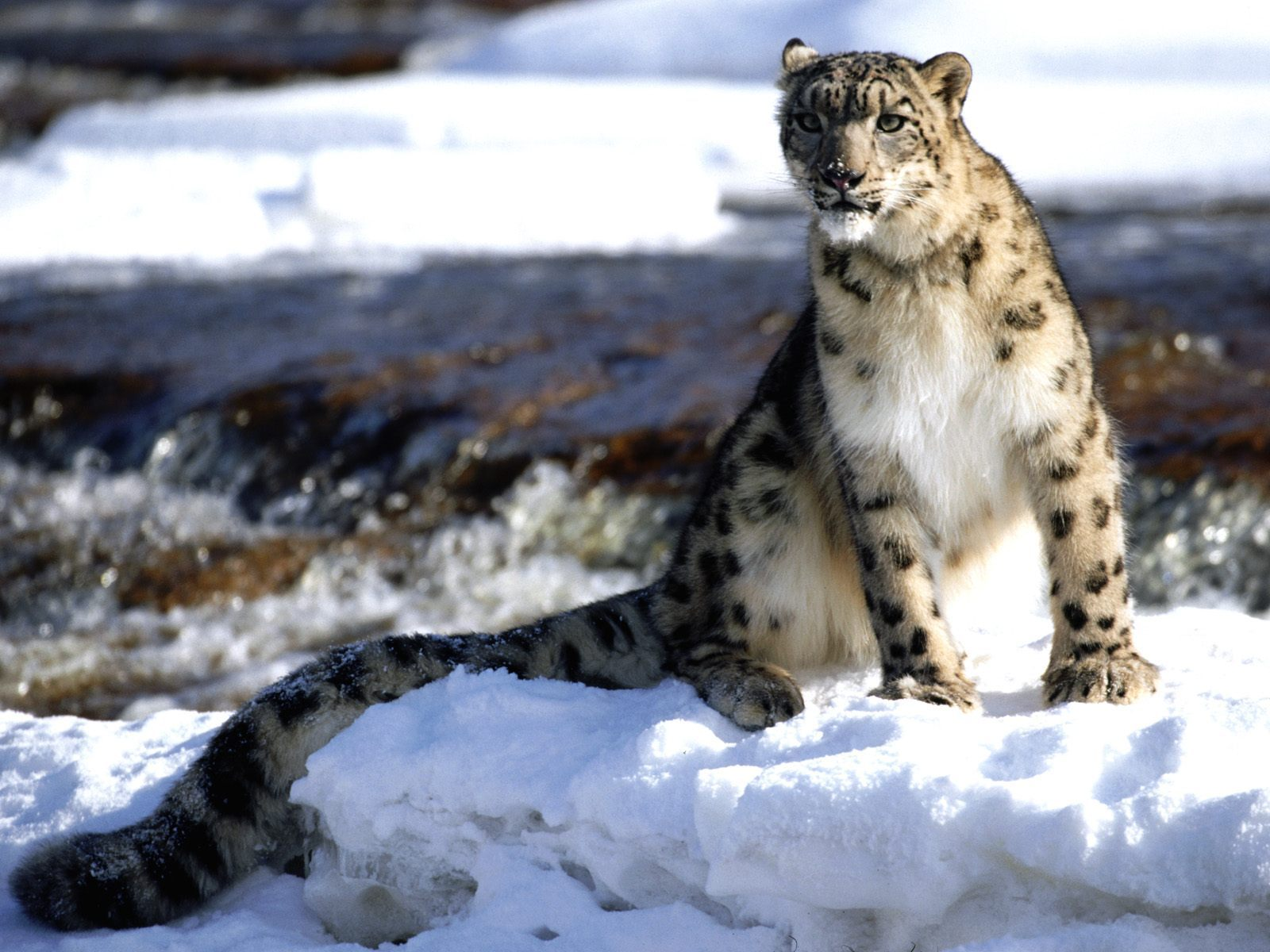 12883 download wallpaper Animals, Winter, Snow Leopard, Snow screensavers and pictures for free