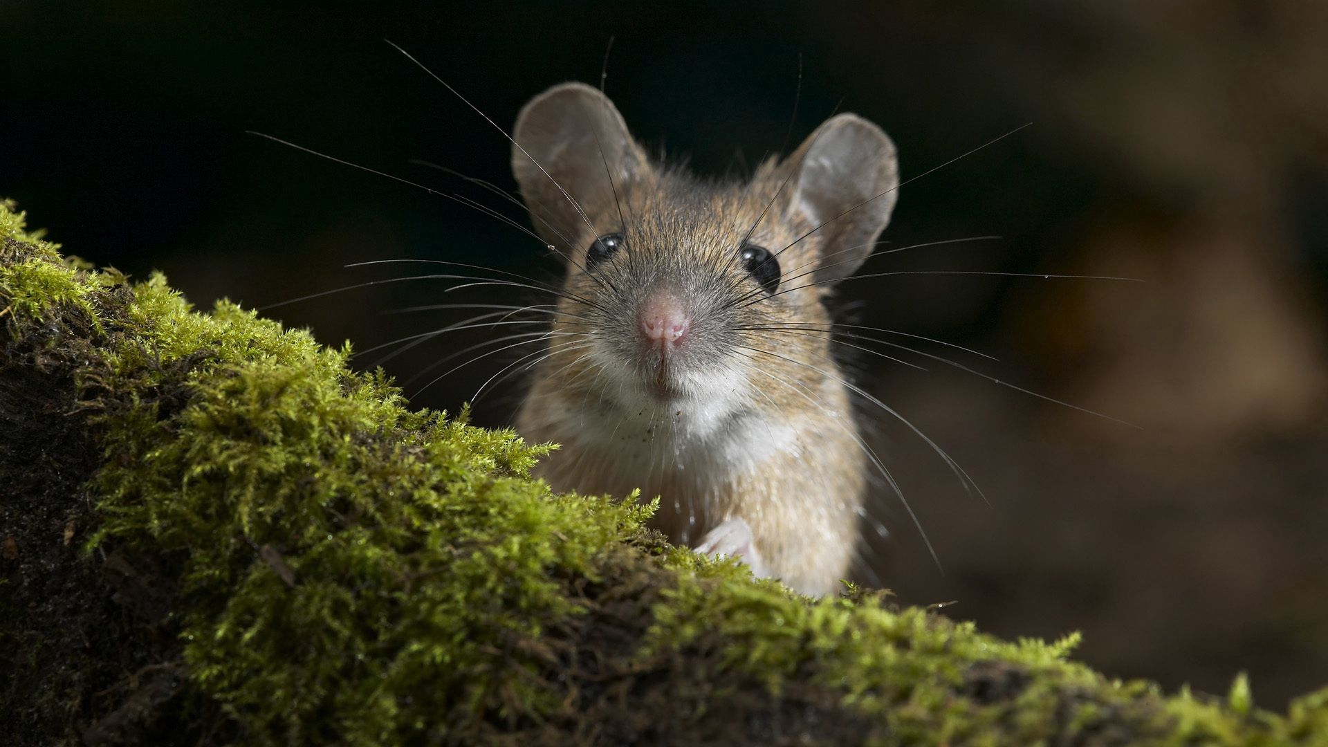73602 download wallpaper Animals, Mouse, Grass, Moss, Peek Out, Look Out screensavers and pictures for free