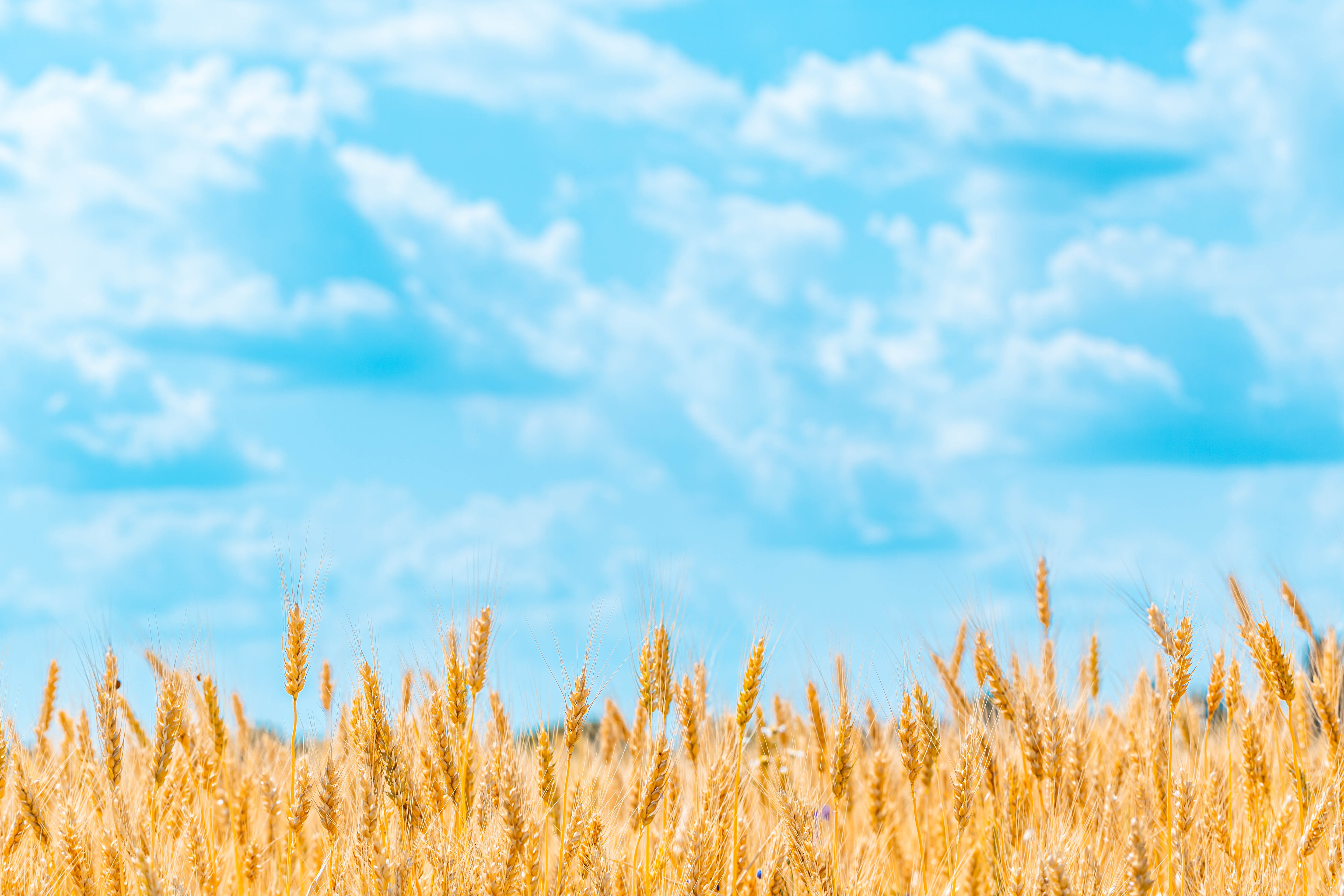 75093 download wallpaper Wheat, Nature, Sky, Cones, Clouds, Field, Spikelets screensavers and pictures for free