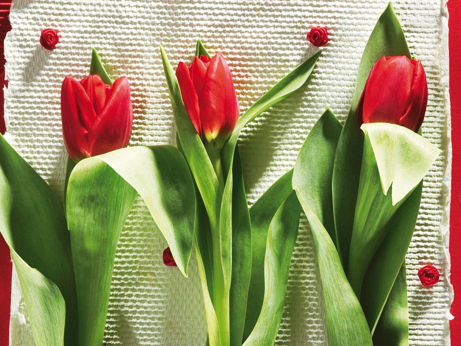 98703 скачать обои Цветы, Три, Лежать, Красота, Тюльпаны - заставки и картинки бесплатно
