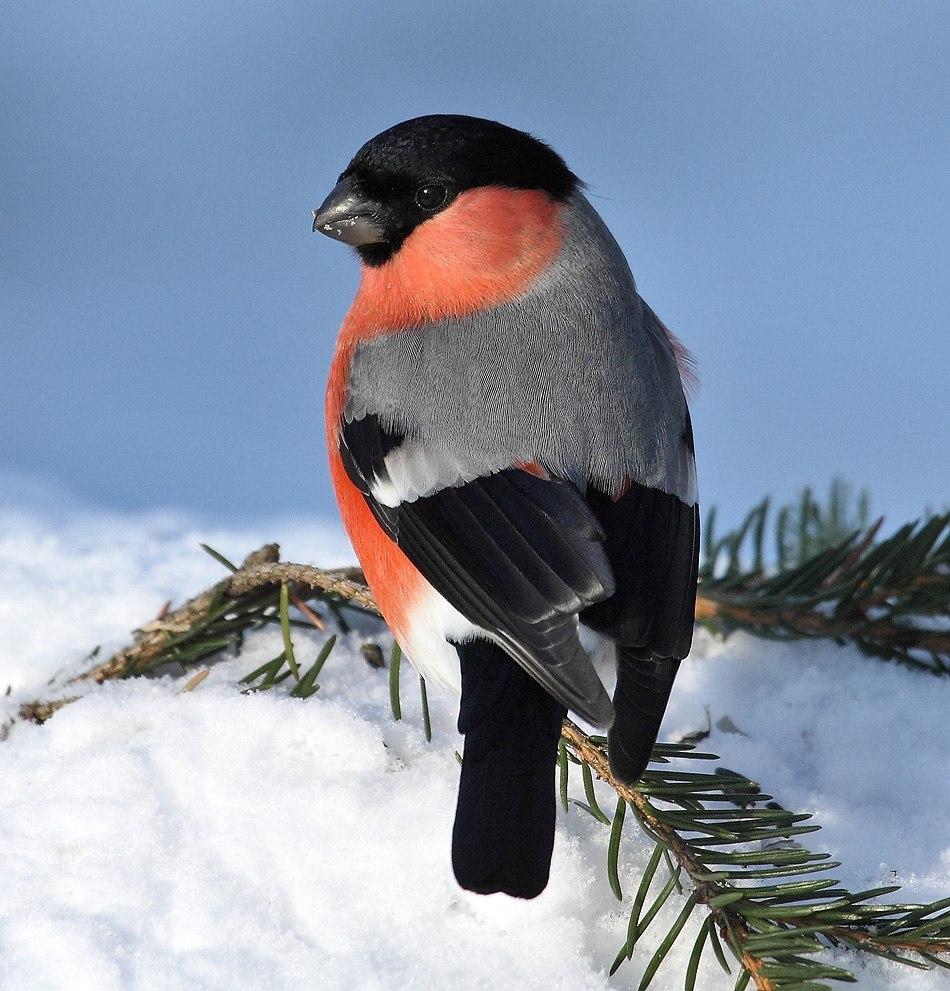 16837 Hintergrundbild herunterladen Vögel, Tiere, Winterreifen, Schnee - Bildschirmschoner und Bilder kostenlos