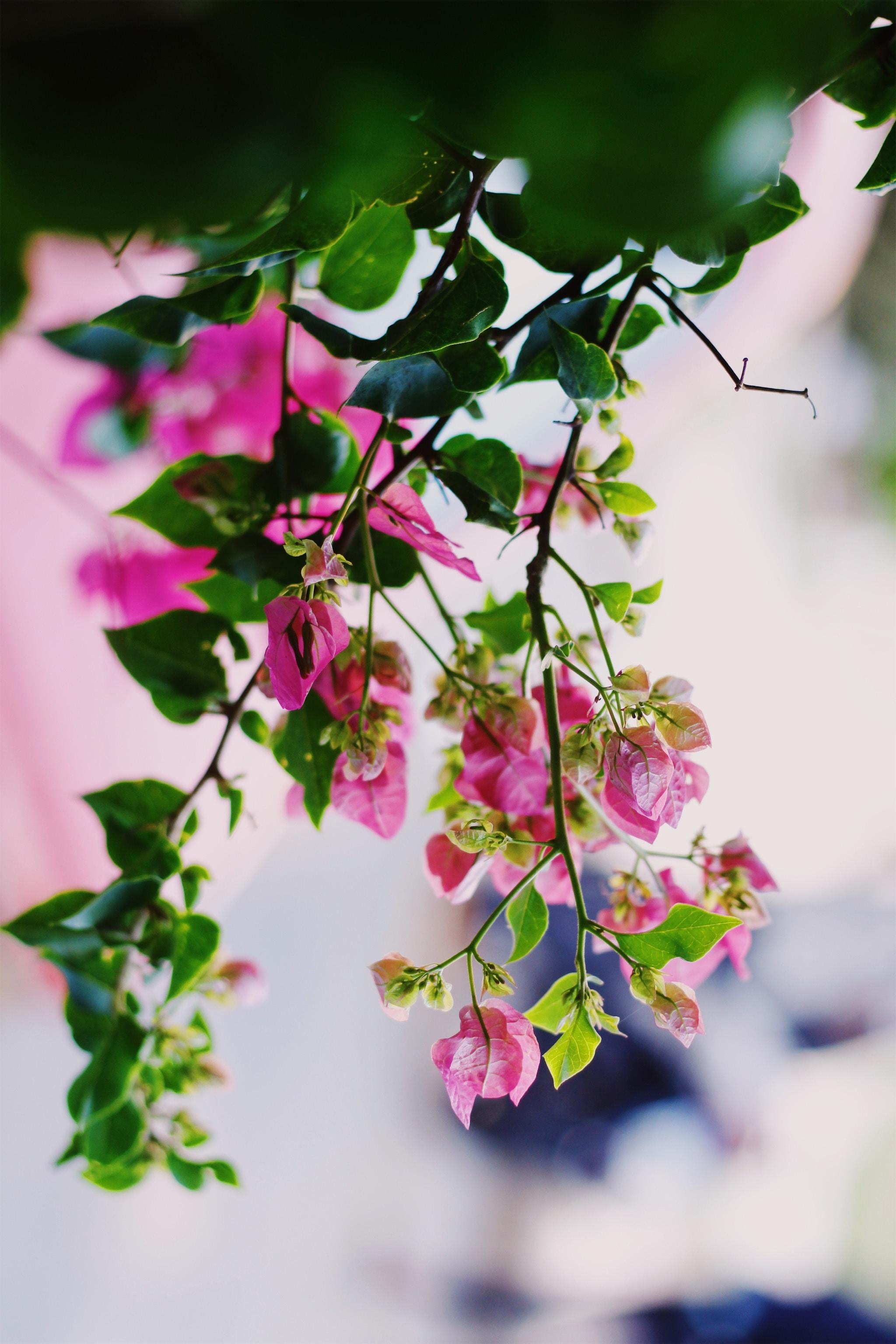 107772 скачать обои Розовый, Лето, Цветы, Растение, Цветение - заставки и картинки бесплатно