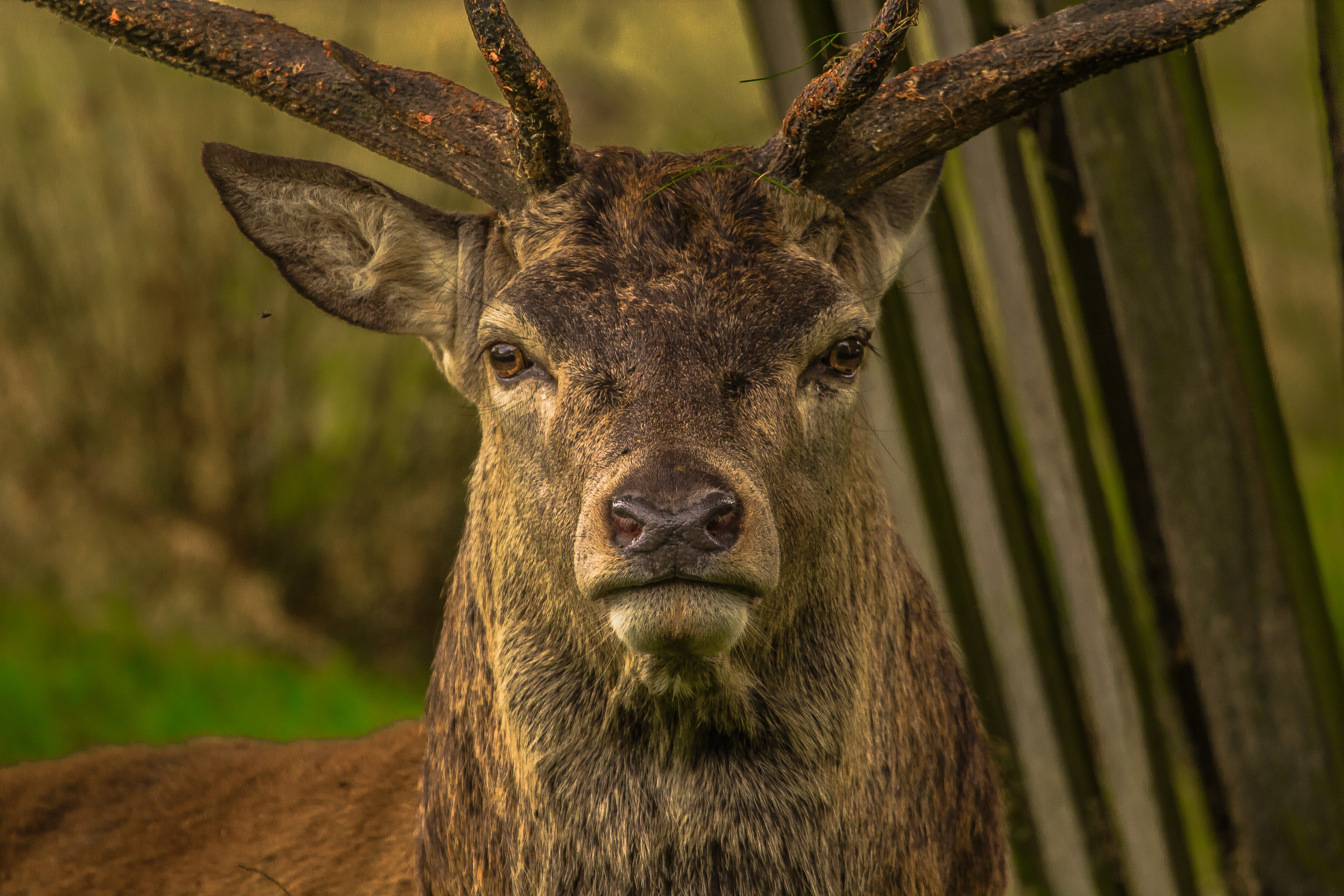 110294 download wallpaper Animals, Deer, Muzzle, Horns, Sight, Opinion screensavers and pictures for free