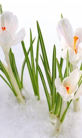23273 скачать обои Растения, Цветы, Снег, Подснежники - заставки и картинки бесплатно