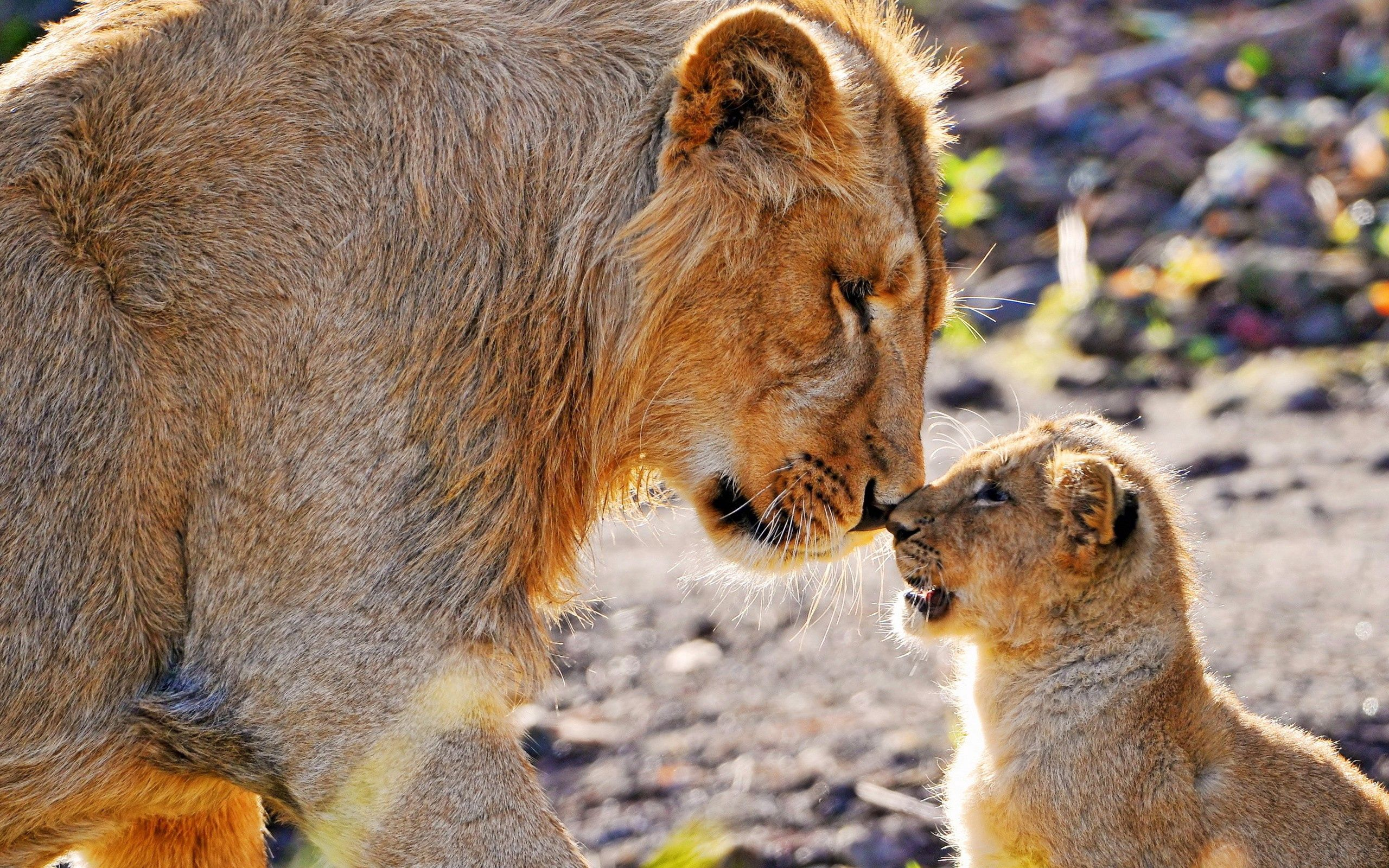 152061 download wallpaper Animals, Couple, Pair, Young, Joey, Lions screensavers and pictures for free