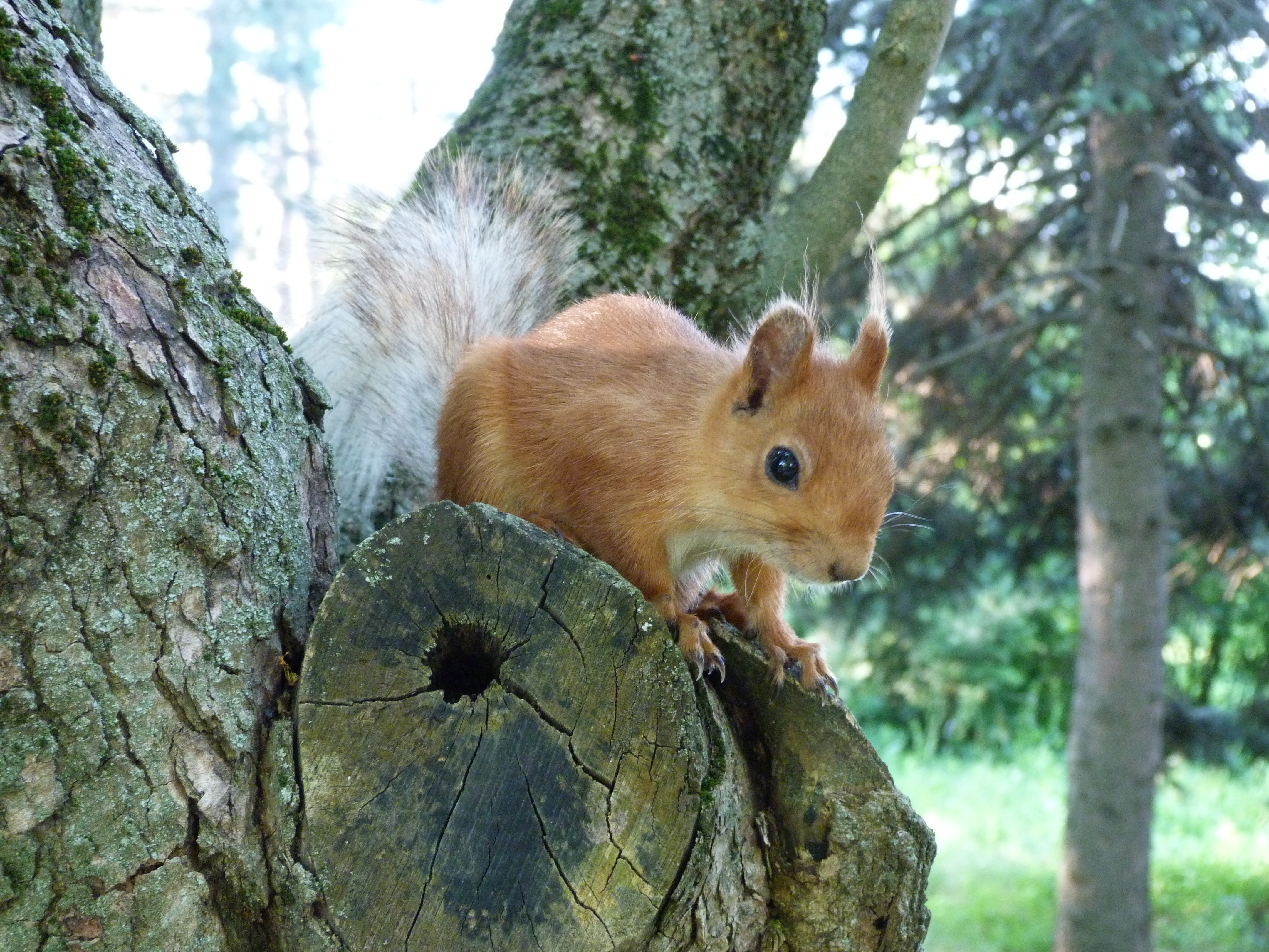157058 Screensavers and Wallpapers Squirrel for phone. Download Animals, Squirrel, Wood, Tree, Muzzle, Peek Out, Look Out pictures for free