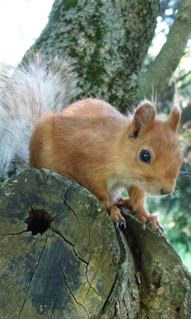 157058 download wallpaper Animals, Squirrel, Muzzle, Peek Out, Look Out, Wood, Tree screensavers and pictures for free