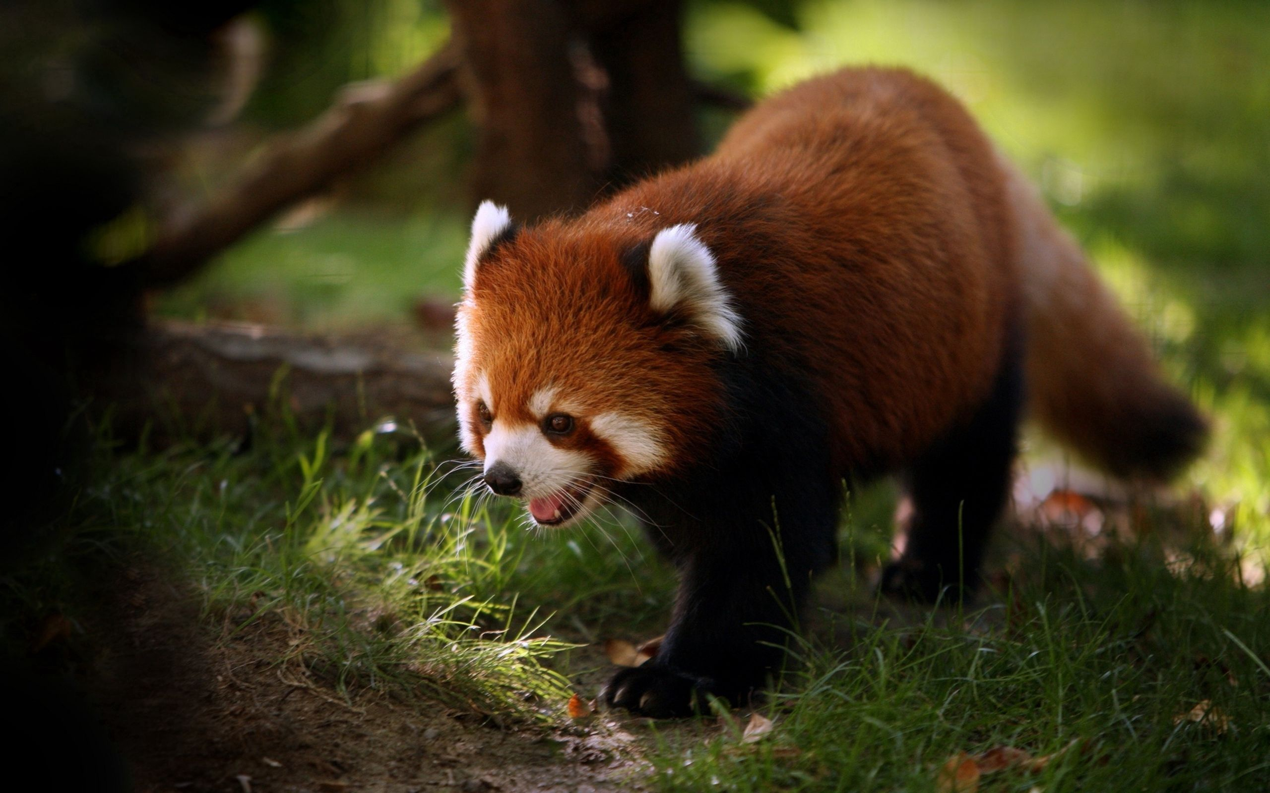 100459 Screensavers and Wallpapers Wool for phone. Download Animals, Muzzle, Stroll, Wool, Red Panda pictures for free
