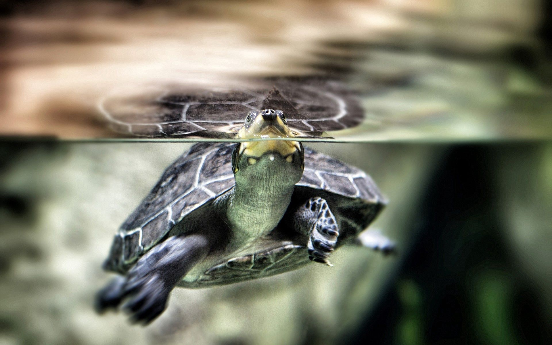 88534 download wallpaper Animals, Water, To Swim, Swim, Carapace, Shell, Turtle screensavers and pictures for free