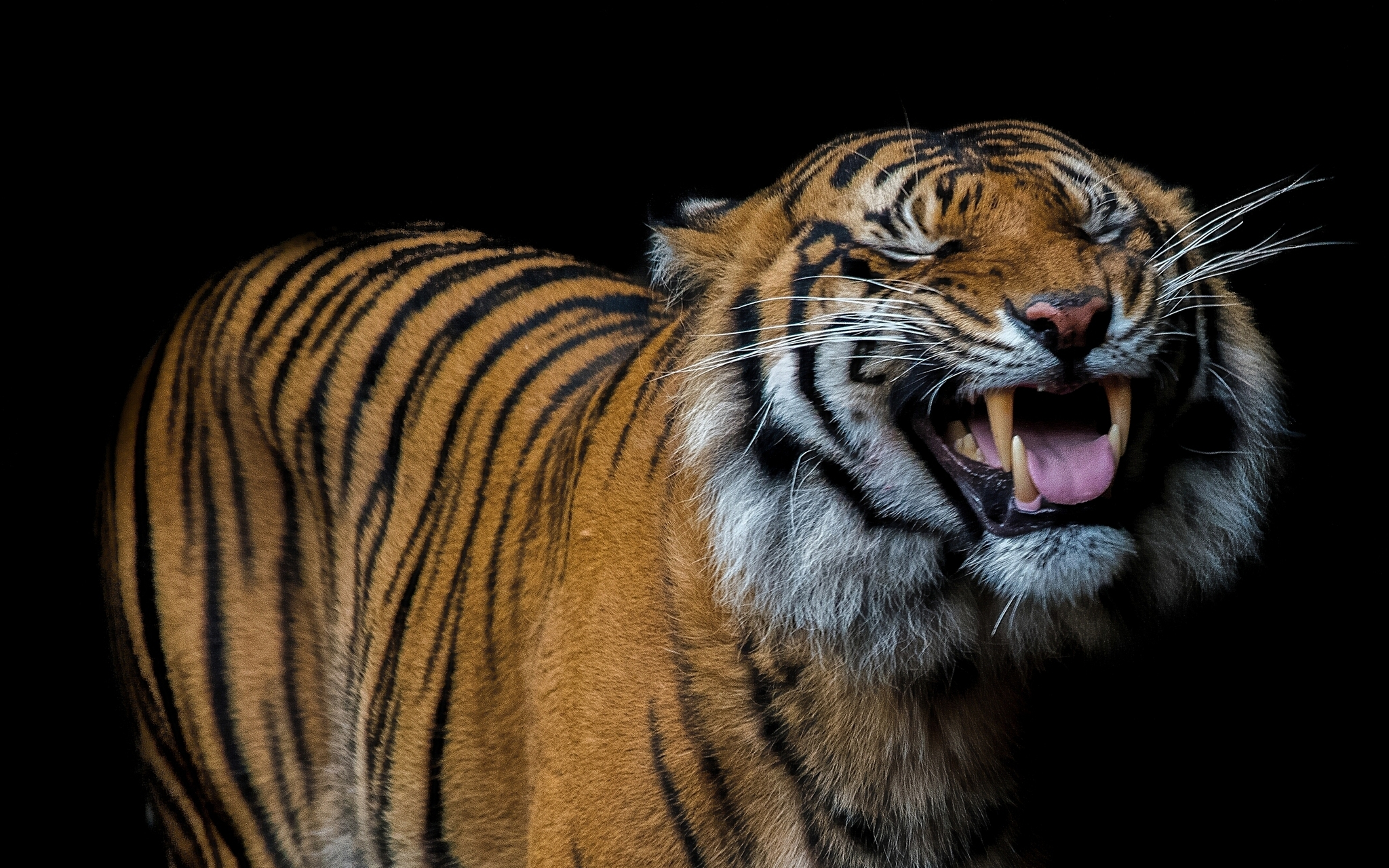 118428 Screensavers and Wallpapers Smile for phone. Download Animals, Grin, Predator, Smile, Tiger pictures for free