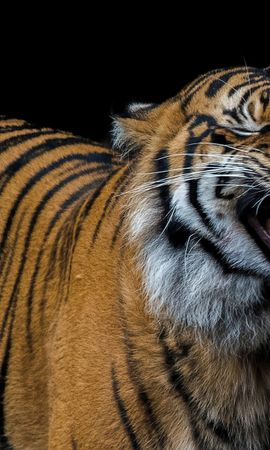 118428 免費下載壁紙 动物, 老虎, 虎, 微笑, 捕食者, 咧嘴笑, 奥斯卡尔 屏保和圖片