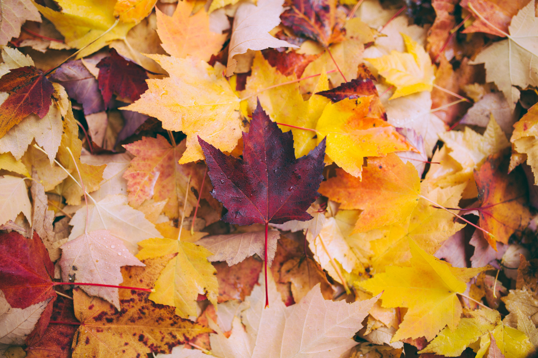 79007 Lade kostenlos Gelb Hintergrundbilder für dein Handy herunter, Natur, Herbst, Blätter, Ahorn, Gefallen Gelb Bilder und Bildschirmschoner für dein Handy