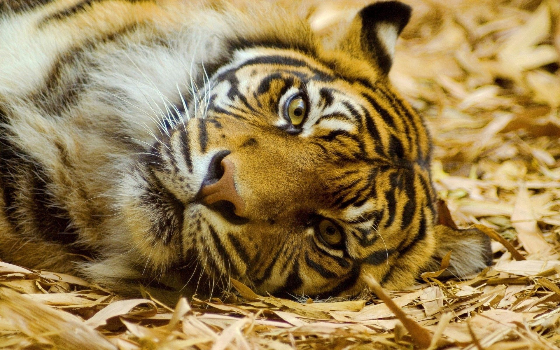 105733 download wallpaper Animals, Tiger, Muzzle, Big Cat, Sight, Opinion, Lies screensavers and pictures for free
