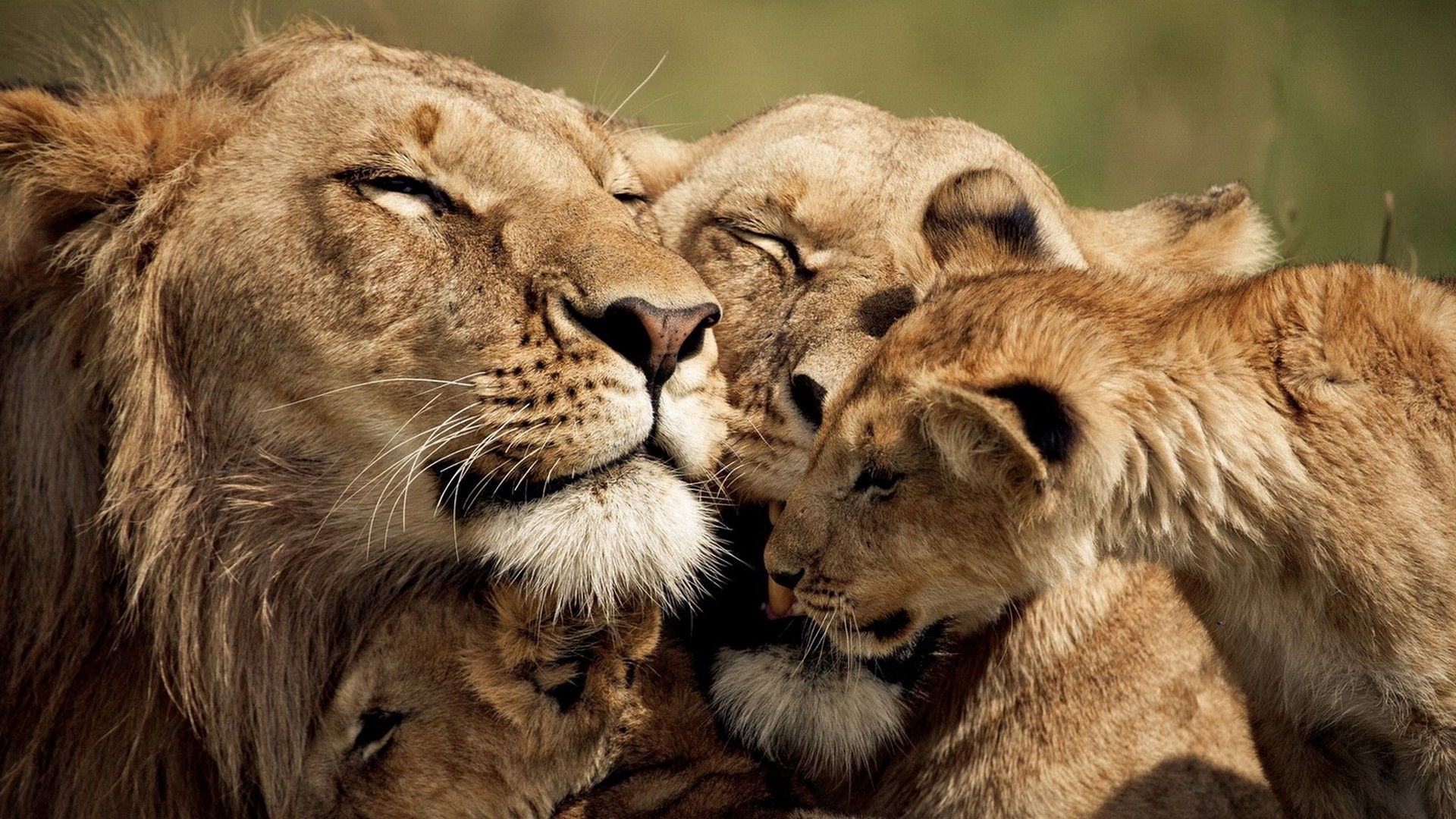 102935 download wallpaper Animals, Young, Joey, Care, Tenderness, Cute, Lions screensavers and pictures for free