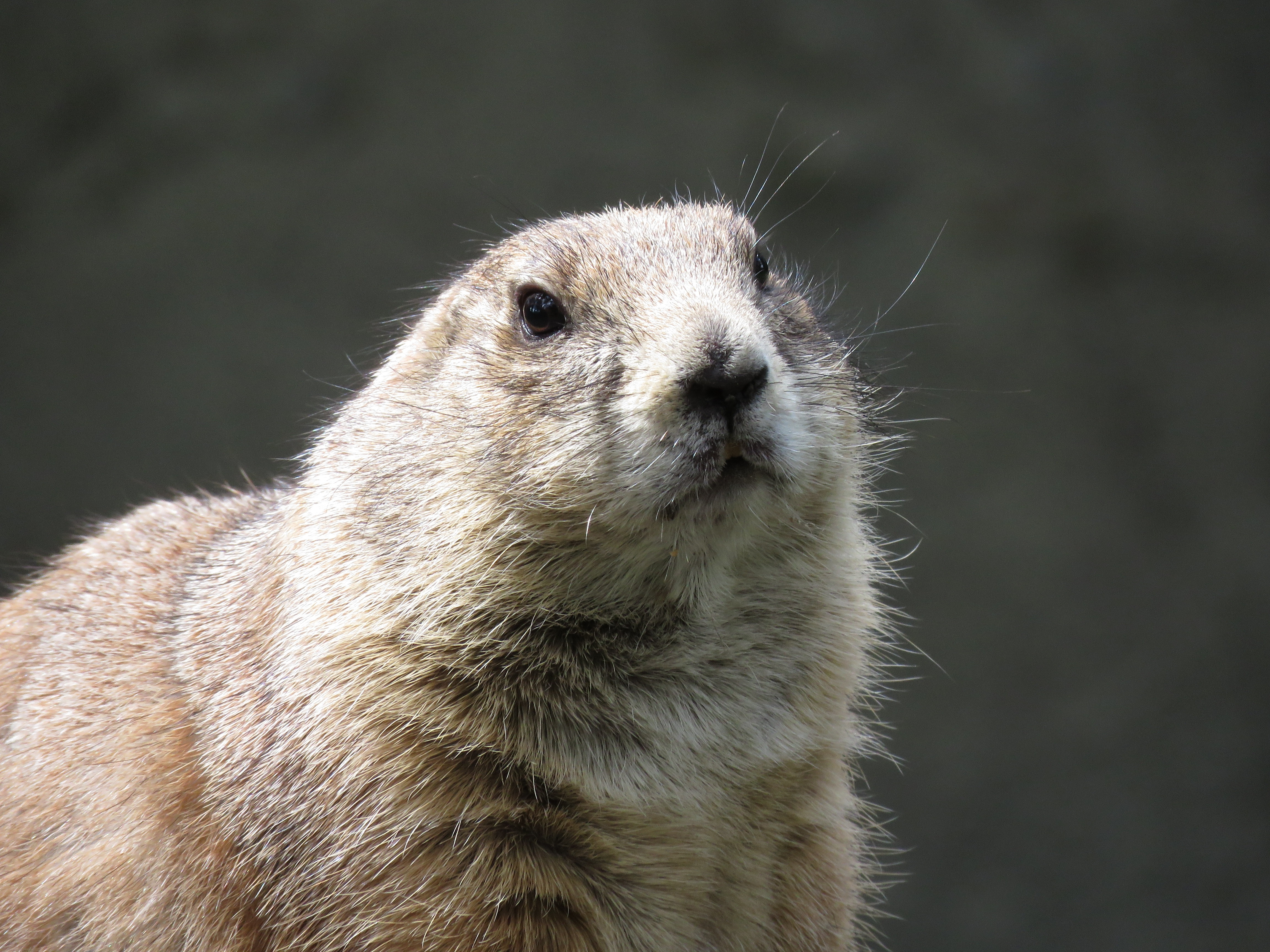 75752 download wallpaper Animals, Prairie Dog, Meadow Dog, Rodent, Muzzle screensavers and pictures for free