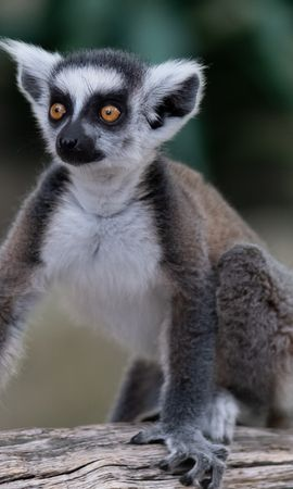 125492 download wallpaper Animals, Lemur, Sight, Opinion, Funny, Animal screensavers and pictures for free