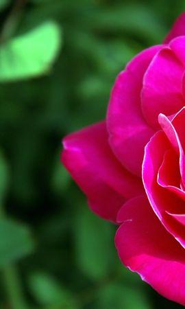 41126 télécharger le fond d'écran Plantes, Fleurs, Roses - économiseurs d'écran et images gratuitement