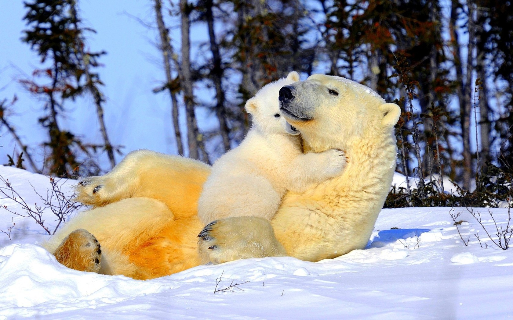 37182 download wallpaper Animals, Bears screensavers and pictures for free