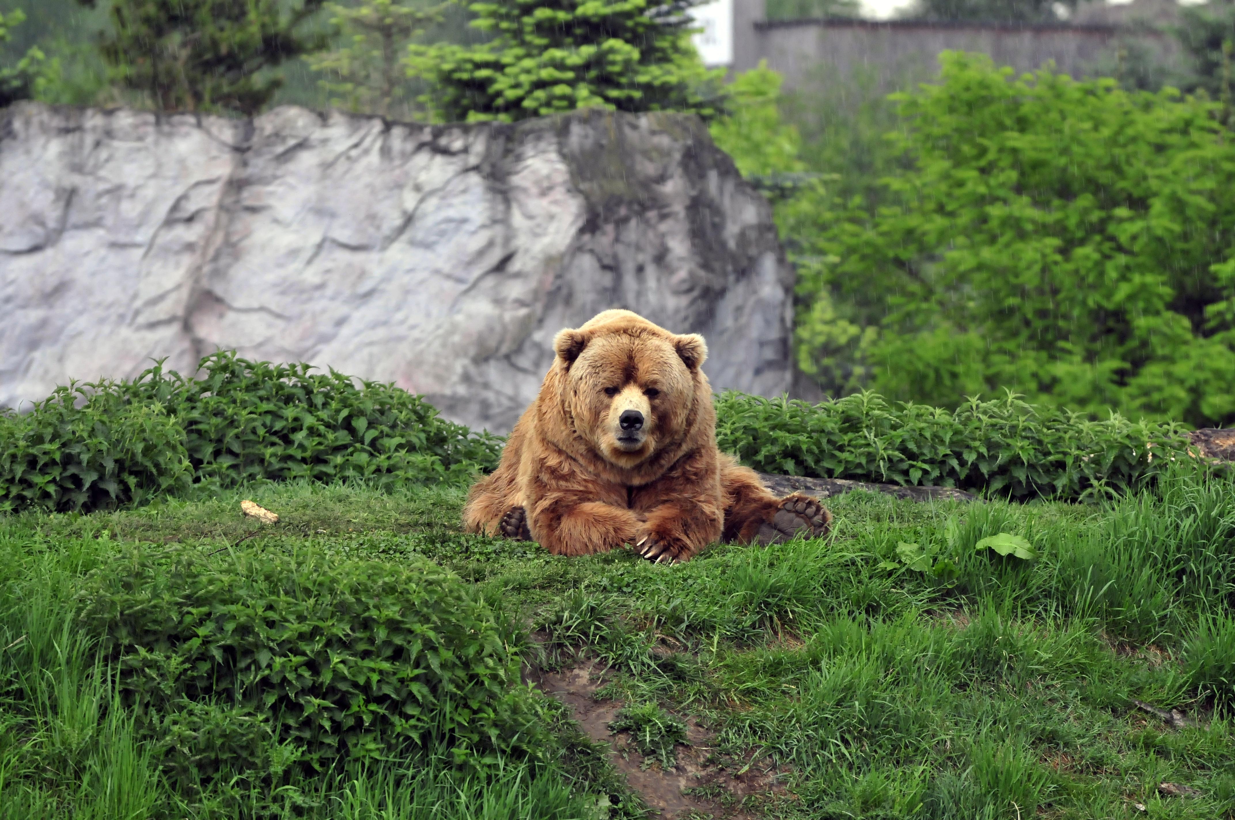 150855 download wallpaper Animals, Bear, Brown, Grass, Cool, To Lie Down, Lie screensavers and pictures for free