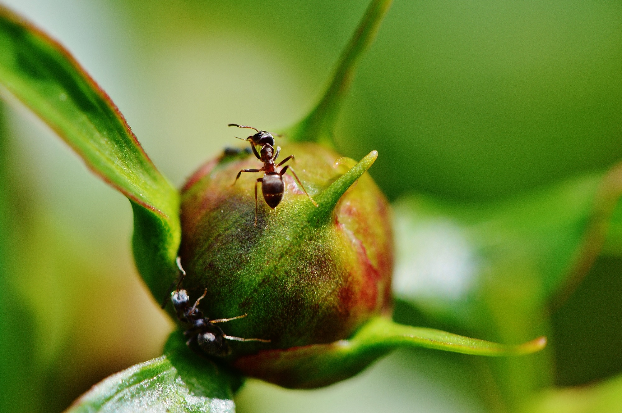 75244 download wallpaper Macro, Pion, Peony, Ants, Bud, Insects screensavers and pictures for free