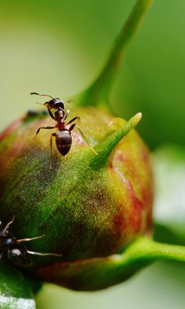 75244 Screensavers and Wallpapers Insects for phone. Download Macro, Pion, Peony, Ants, Bud, Insects pictures for free