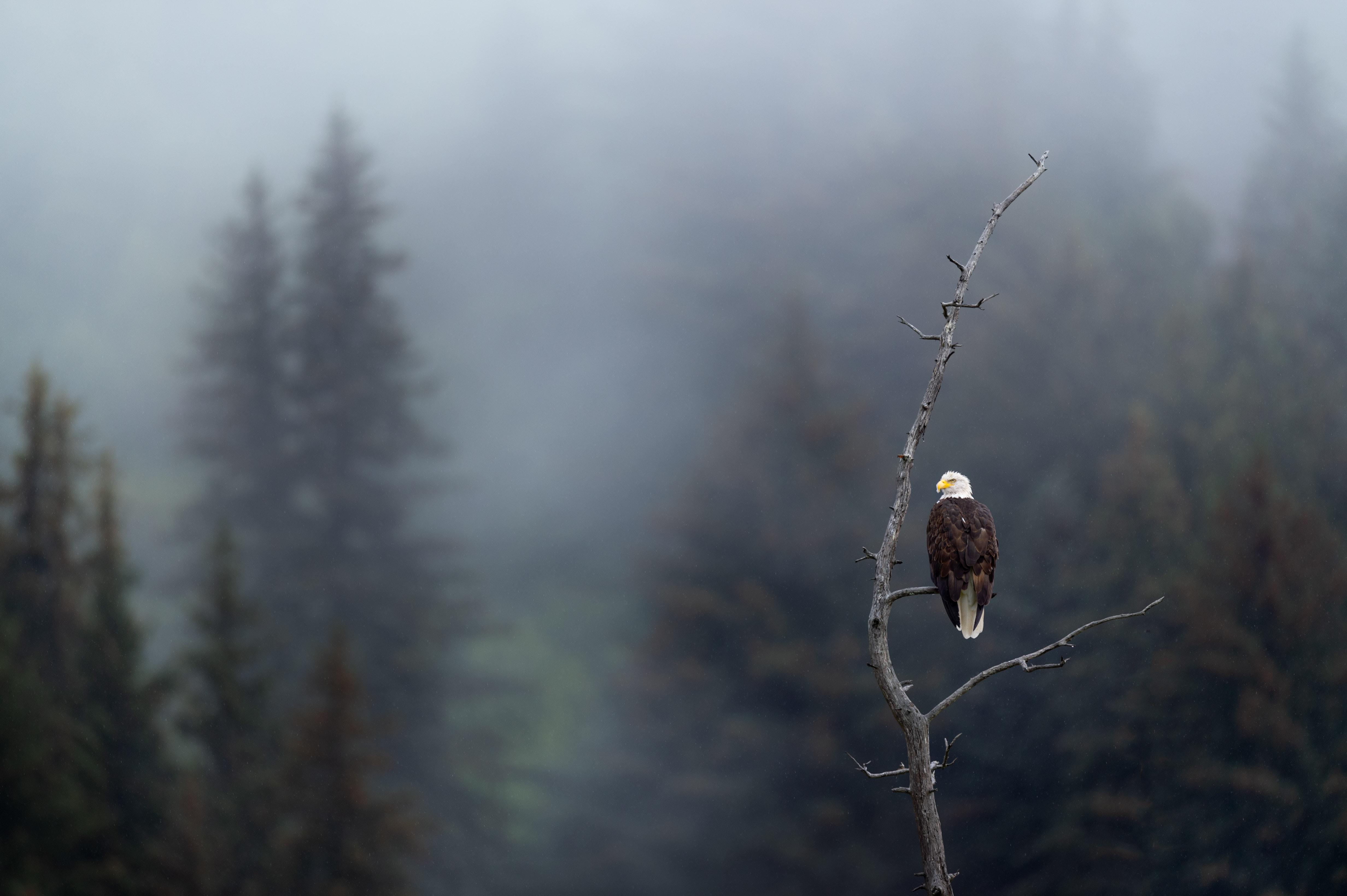 130903 Hintergrundbild herunterladen Tiere, Vogel, Ast, Zweig, Raubtier, Predator, Adler, Fokus - Bildschirmschoner und Bilder kostenlos
