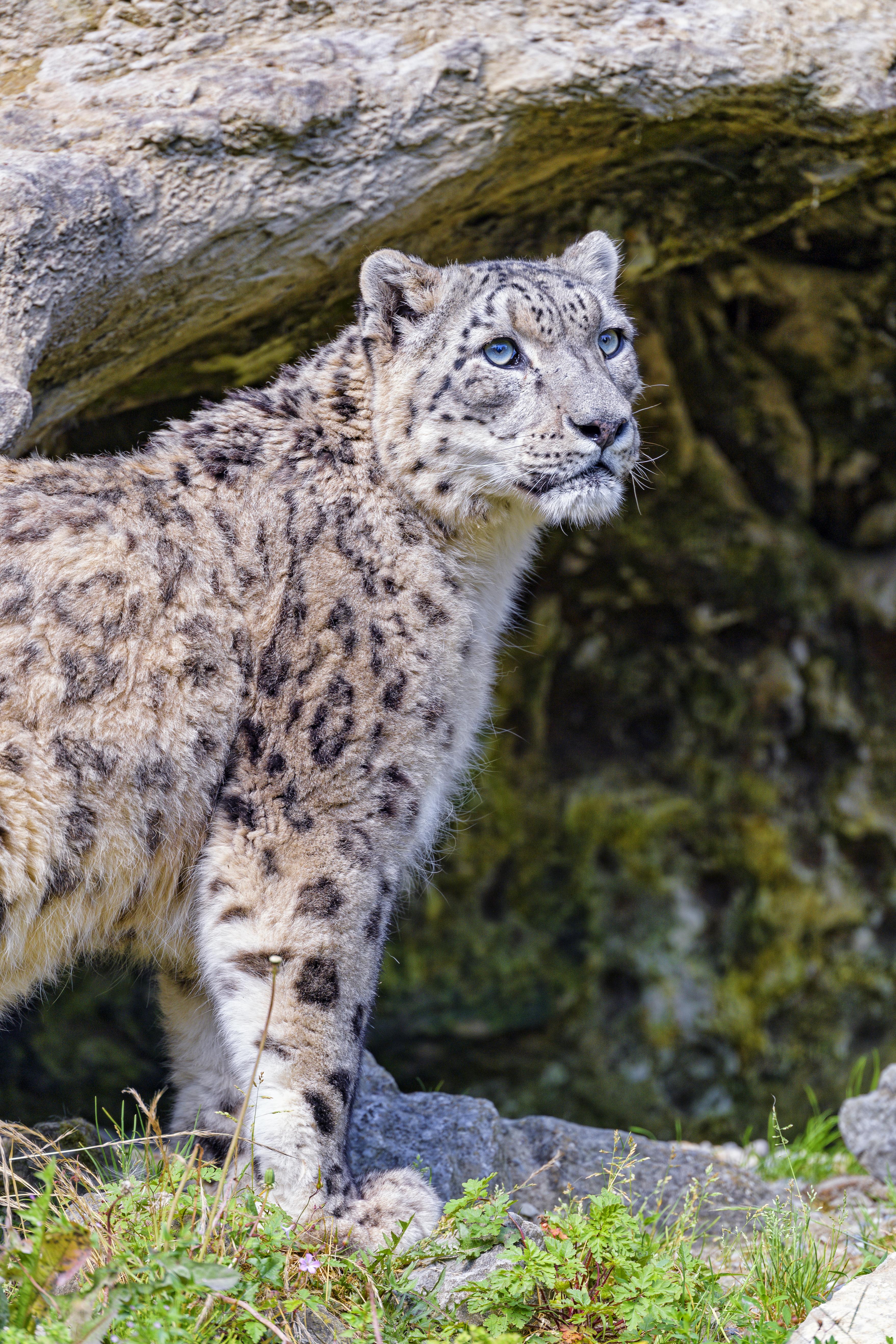 132291 Hintergrundbild herunterladen Schneeleopard, Tiere, Raubtier, Predator, Große Katze, Big Cat, Tier, Irbis - Bildschirmschoner und Bilder kostenlos