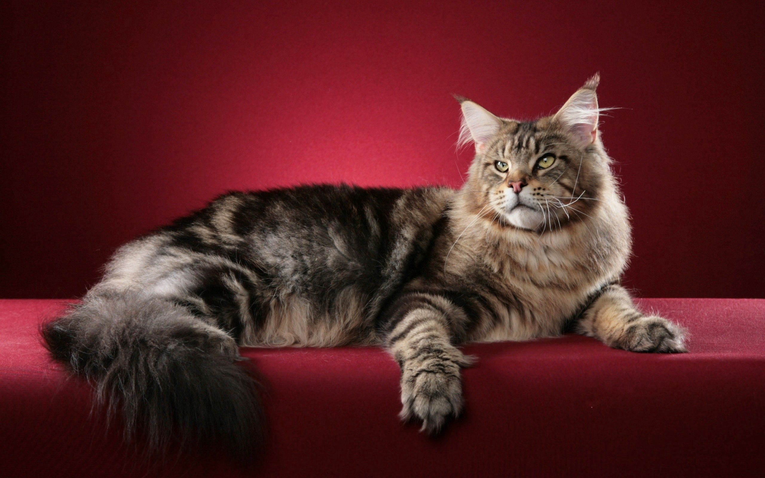 108240 Screensavers and Wallpapers Fluffy for phone. Download Animals, Cat, Fluffy, Maine Coon, Maine pictures for free