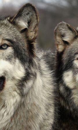 1746 baixar papel de parede Animais, Lobos - protetores de tela e imagens gratuitamente