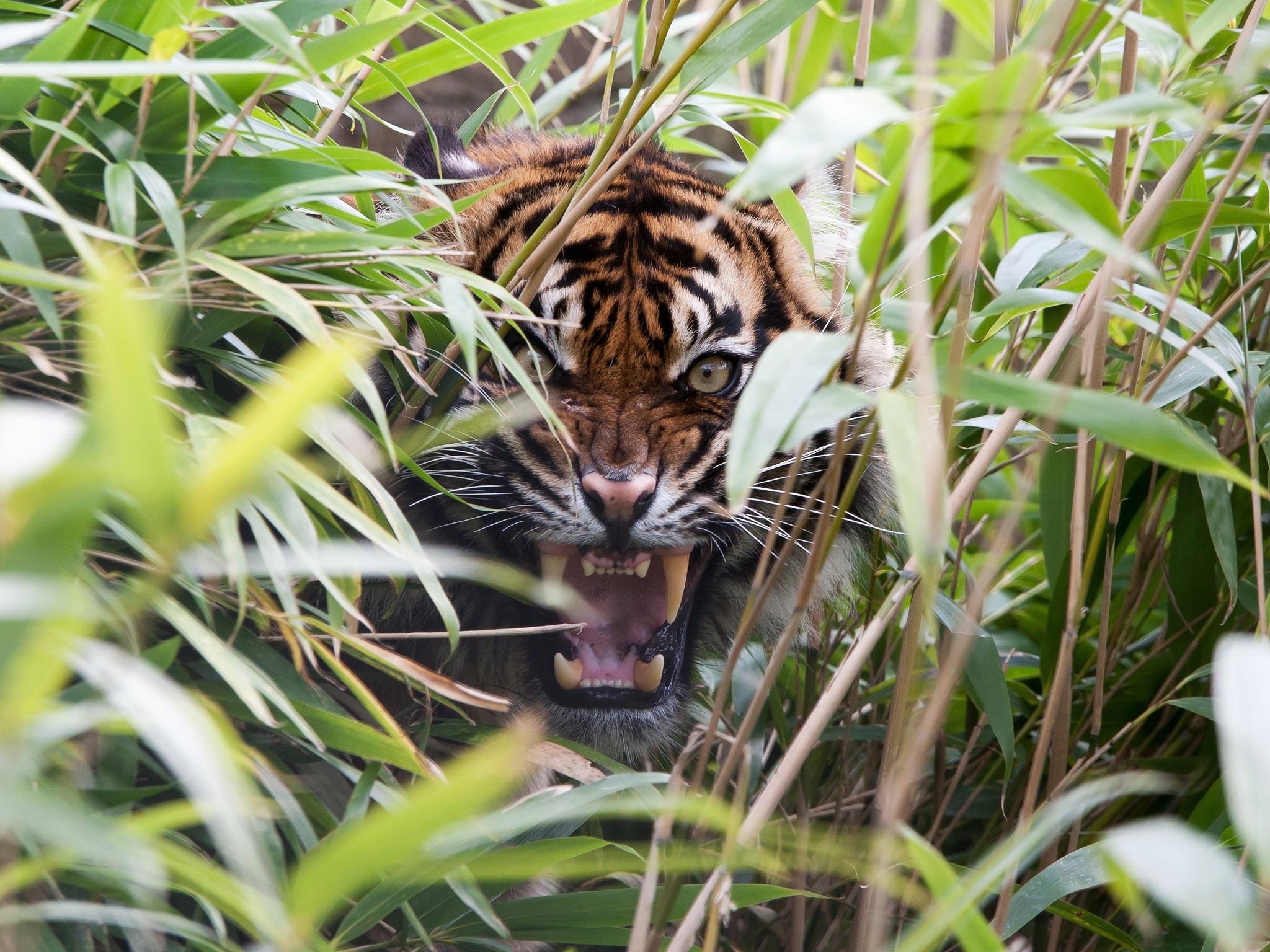 139245 Hintergrundbild herunterladen Tiere, Grass, Grinsen, Grin, Fallen, Raubtier, Predator, Tiger, Fangzähne, Zähne, Mund, Wut - Bildschirmschoner und Bilder kostenlos