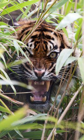 139245 免費下載壁紙 动物, 老虎, 虎, 捕食者, 草, 坠落, 嘴, 尖牙, 愤怒, 咧嘴笑, 奥斯卡尔 屏保和圖片