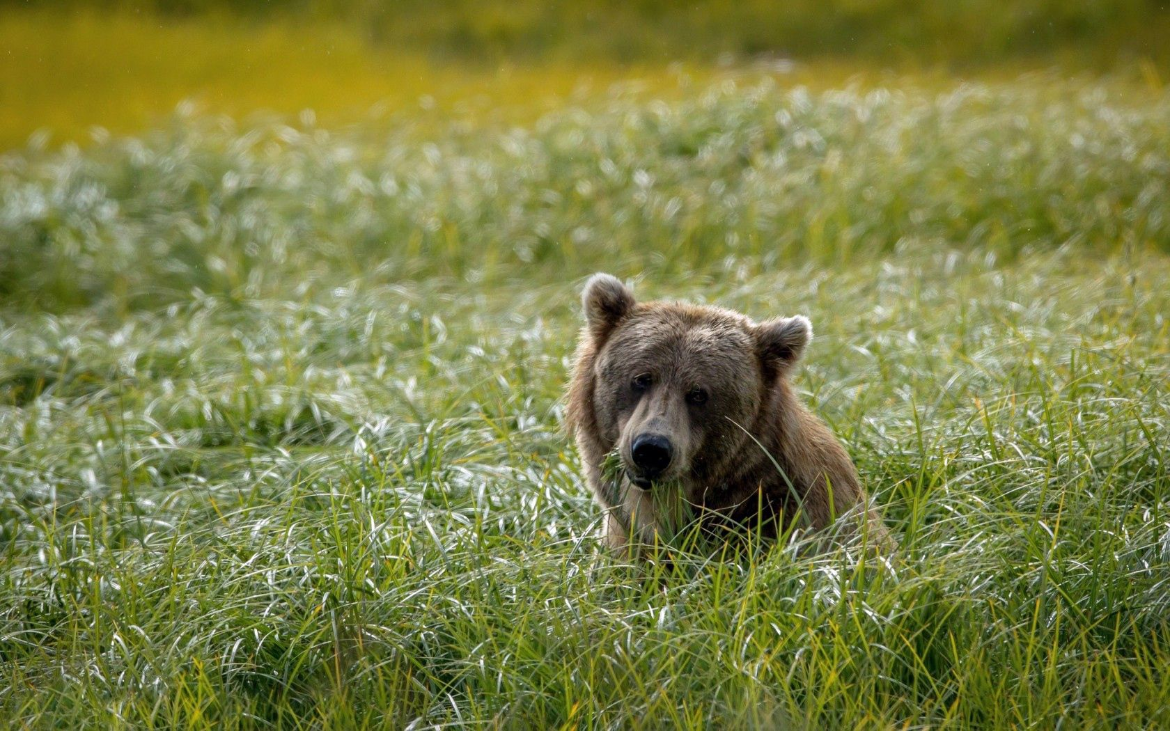 150119 Screensavers and Wallpapers Bear for phone. Download Animals, Grass, Background, Bear, Field, Head pictures for free