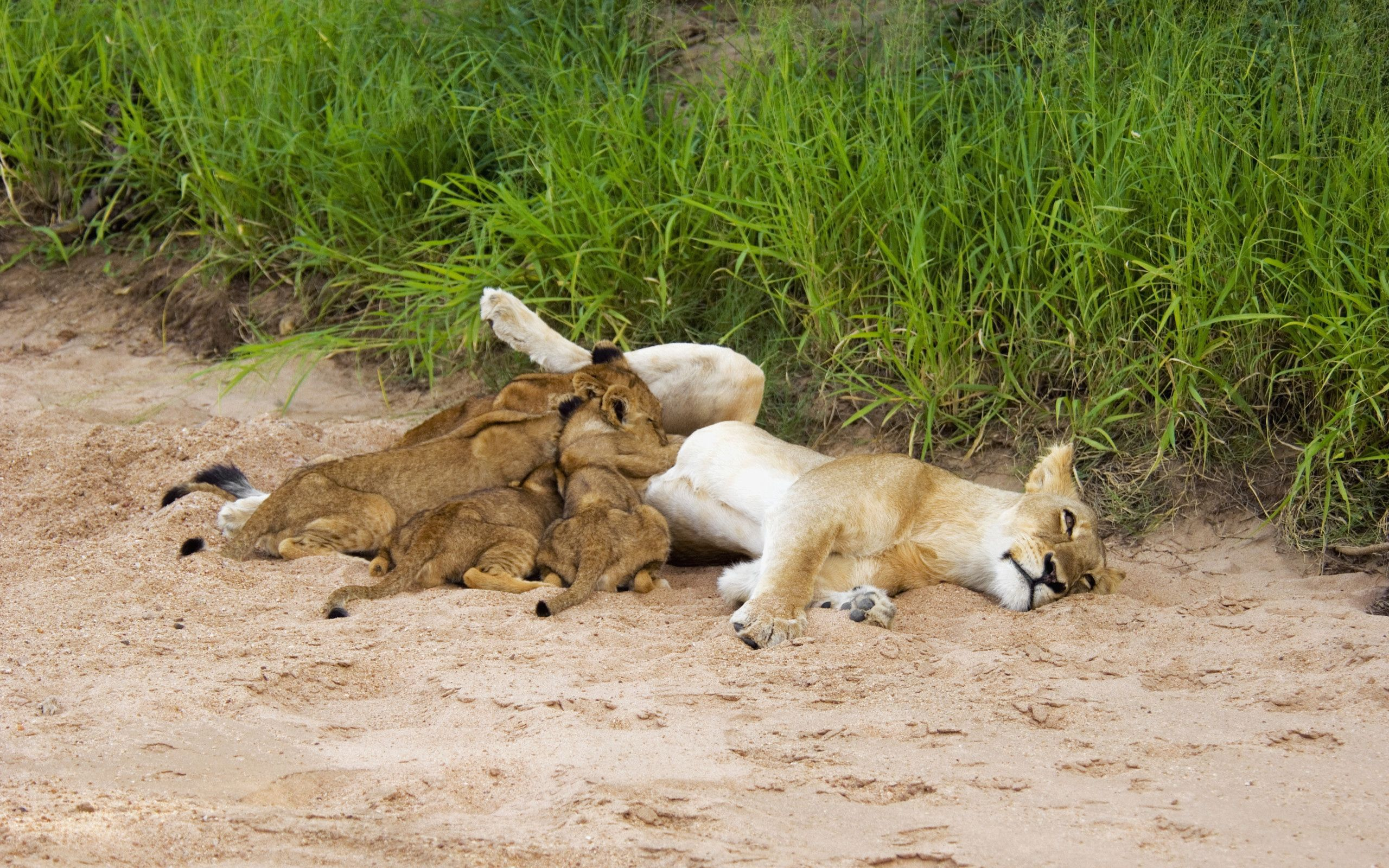 134967 download wallpaper Animals, Sand, Cubs, Young, To Lie Down, Lie, Grass, Lions screensavers and pictures for free