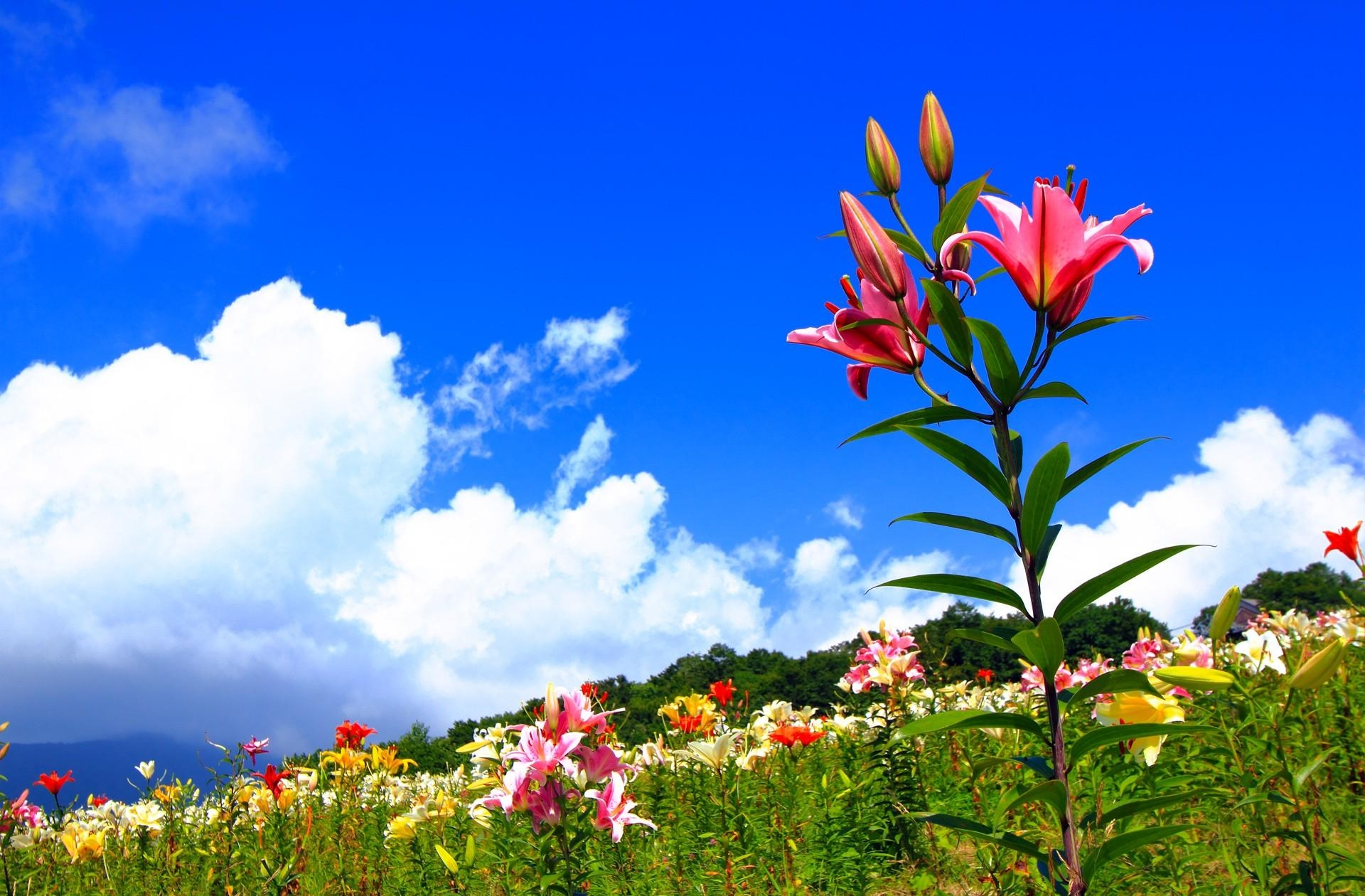 111905 download wallpaper Flowers, Sky, Lilies, Positive, Polyana, Glade, Sunny screensavers and pictures for free